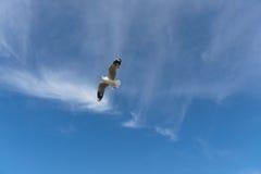 Pájaro que se desliza en el cielo azul Foto de archivo libre de regalías