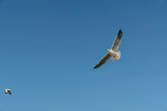 Pájaro que se desliza en el cielo claro Fotos de archivo