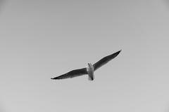 Pájaro que se desliza en el cielo claro Imagenes de archivo