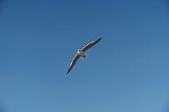 Pájaro que se desliza en el cielo claro Imagen de archivo