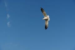 Pájaro que se desliza en el cielo claro Fotos de archivo libres de regalías