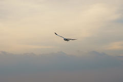 Pájaro que se desliza en la nube en la puesta del sol Fotos de archivo