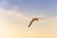 Pájaro que se desliza en la puesta del sol Imagenes de archivo