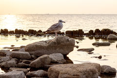 Pájaro que se sienta en una roca en la puesta del sol del fondo en el mar Foto de archivo libre de regalías