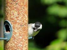 Pájaro que toma una semilla de girasol Fotos de archivo