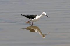 Pájaro que vadea Fotografía de archivo libre de regalías