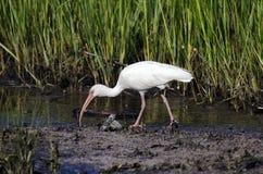 Pájaro que vadea blanco que forrajea, reserva nacional de la isla de Pickney, los E.E.U.U. de Ibis Foto de archivo libre de regalías