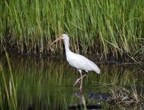 Pájaro que vadea blanco que forrajea, reserva nacional de la isla de Pickney, los E.E.U.U. de Ibis Fotografía de archivo