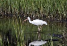 Pájaro que vadea blanco que forrajea, reserva nacional de la isla de Pickney, los E.E.U.U. de Ibis Fotos de archivo