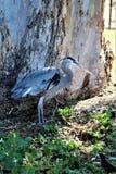 Pájaro que vadea grande de la garza de gran azul foto de archivo libre de regalías