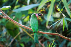 pájaro Rojo-barbudo del Abeja-comedor Imagenes de archivo
