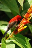 Pájaro rojo con la flor Imágenes de archivo libres de regalías