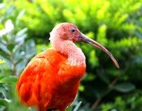 Pájaro rojo de Ibis con plumaje muy vivo sobre la rama de un árbol Fotos de archivo libres de regalías
