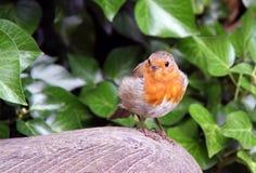 Pájaro rojo del pecho del petirrojo Imágenes de archivo libres de regalías