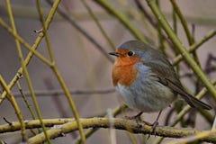 Pájaro rojo del petirrojo en una rama fotos de archivo