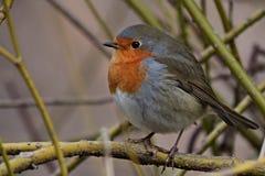 Pájaro rojo del petirrojo en una rama fotografía de archivo