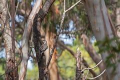 Pájaro rojo del zarzo, honeyeater, encaramándose en árbol en la isla del canguro Imagenes de archivo