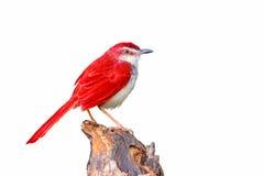 Pájaro rojo en rama Imagen de archivo
