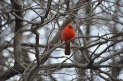 Pájaro rojo en un día de invierno Fotografía de archivo libre de regalías
