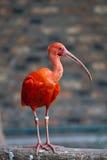 Pájaro rojo - escarlata Ibis Imágenes de archivo libres de regalías