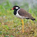 Pájaro rojo-wattled de la avefría Imágenes de archivo libres de regalías