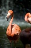 Pájaro rosado del flamenco Imagen de archivo