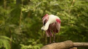 Pájaro rosado del Spoonbill (vídeo) almacen de video