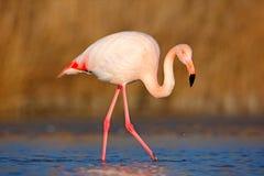 Pájaro rosado hermoso en el agua Mayor flamenco, ruber de Phoenicopterus, Niza pájaro grande rosado, cabeza en el agua, animal en Foto de archivo libre de regalías