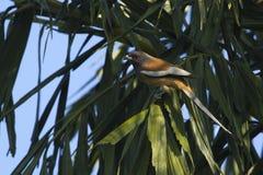 Pájaro rufo del treepie en Nepal Foto de archivo libre de regalías