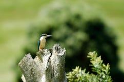 Pájaro sagrado del martín pescador en Nueva Zelanda imagen de archivo