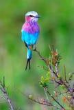 Pájaro salvaje de la canción Imagen de archivo