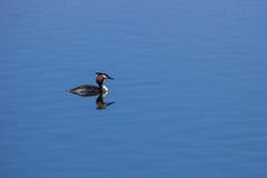 Pájaro salvaje de las aves acuáticas Foto de archivo