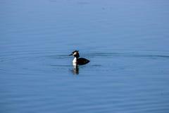 Pájaro salvaje de las aves acuáticas Foto de archivo libre de regalías