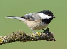 Pájaro salvaje del Chickadee fotos de archivo libres de regalías