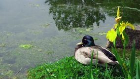 Pájaro salvaje del pato de la naturaleza que se sienta tranquilamente en la hierba verde en el sol que duerme por el agua de la c metrajes