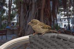 Pájaro salvaje - gorrión - aparezca en el café de la ciudad Foto de archivo libre de regalías