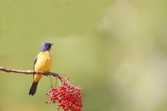 Pájaro salvaje (niltava vivo) Foto de archivo libre de regalías