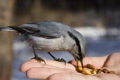 Pájaro salvaje que se sienta en la mano Foto de archivo libre de regalías