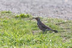 Pájaro septentrional del parpadeo Foto de archivo libre de regalías