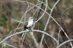 Pájaro septentrional del sinsonte en la rama, Georgia, los E.E.U.U. imagenes de archivo