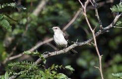 Pájaro septentrional del sinsonte, Walton County GA imagen de archivo