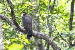 Pájaro: Serpiente-Eagle con cresta Imagen de archivo