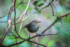 Pájaro (Shortwing Blanco-cejudo) Shortwing Blanco-cejudo (hembras) imagenes de archivo