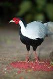 Pájaro siamés del trashoguero de Diard del trashoguero del pájaro de Tailandia Imagen de archivo libre de regalías