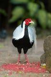 Pájaro siamés del trashoguero de Diard del trashoguero del pájaro de Tailandia Fotografía de archivo libre de regalías