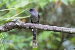 Pájaro: Sibia de cola larga Foto de archivo libre de regalías