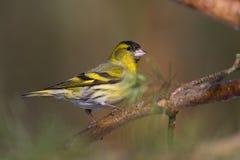 Pájaro - siskin (spinus del carduelis) Fotografía de archivo libre de regalías