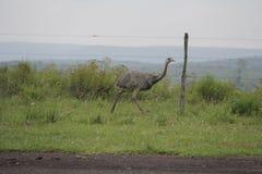Pájaro típico del Brasil meridional fotografía de archivo libre de regalías