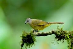Pájaro, Tailandia Foto de archivo libre de regalías