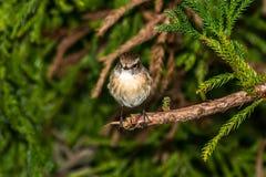 Pájaro: TEC-TEC Foto de archivo libre de regalías